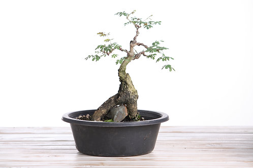 Acacia burkei (Senegalia)