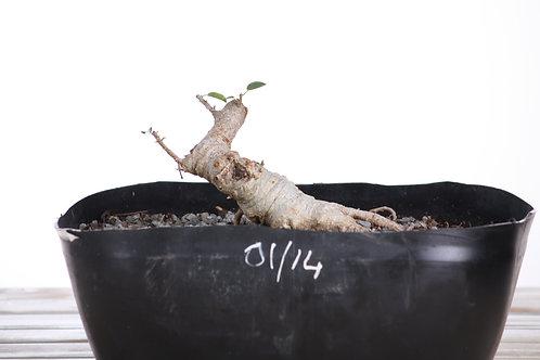 Ficus burtt-davyi