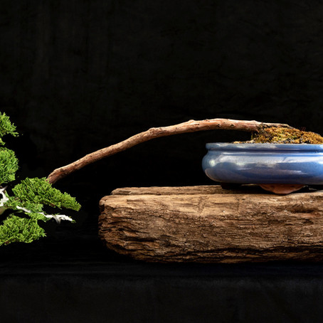 How to choose a bonsai pot no 8 - Juniperus chinensis