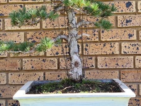 How to choose a bonsai pot no 2 - Scott's Pine