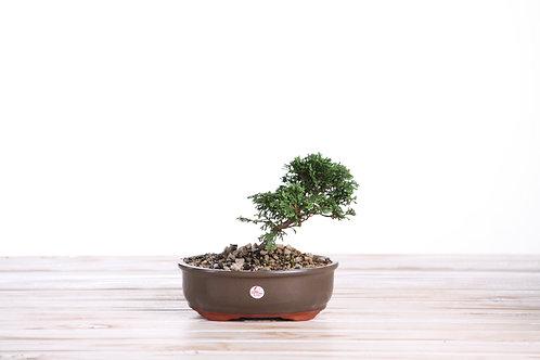 """Chamaecyparis """"Hinoki Cypress"""""""
