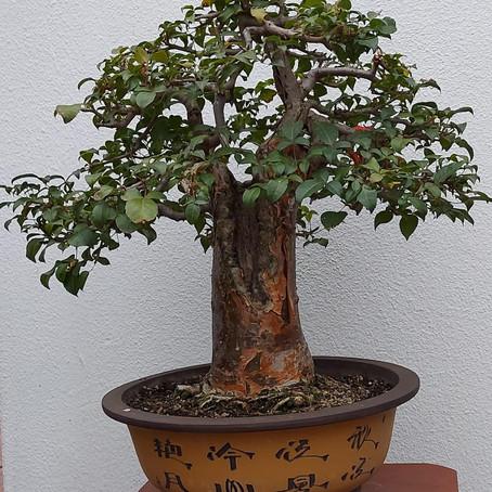 How to choose a bonsai pot no 3 - Gardiol's Commiphora