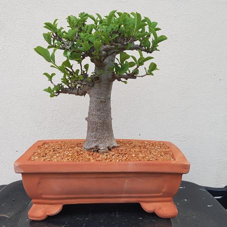 How to choose a bonsai pot no 10 - Adansonia digitata