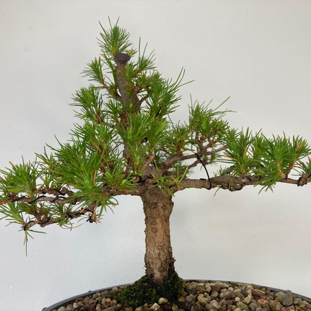 How to choose a bonsai pot no 7 - Pinus Radiata