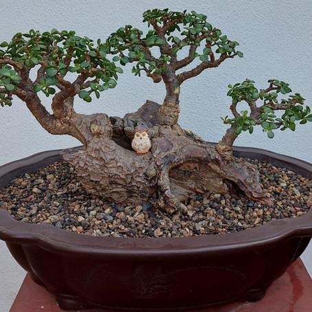 How to choose a bonsai pot no 9 - Portulacaria affra
