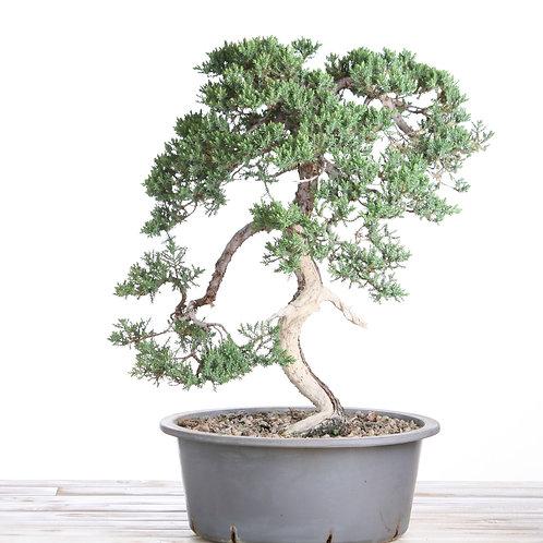 Juniperus procumbena Nana