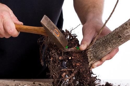 Applying grafting tacks to Ficus natalensis