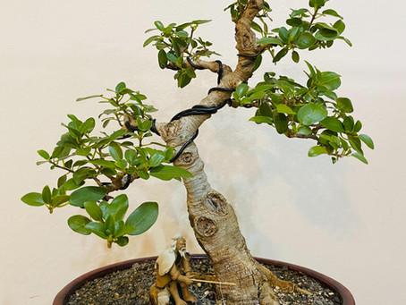 How to choose a bonsai pot no 1 - Xavier's Ficus burtt-davyi