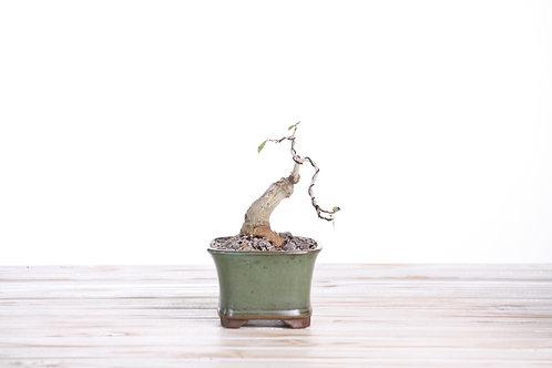 Ficus burtt-davyii
