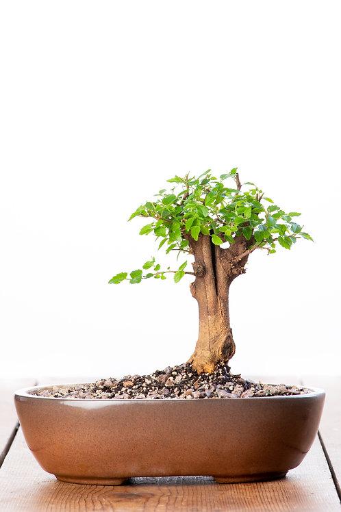 Celtis Africana (Stinkwood)