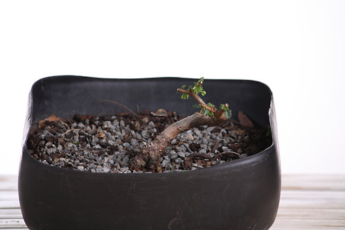 Ulmus parvifolia (Chinese Elm)