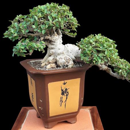 How to choose a bonsai pot no 4 - Ficus burtt-davyi