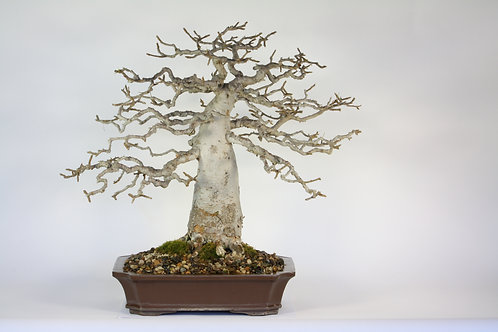 Commiphora harveyi Bonsai Baobab style