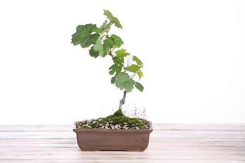 Grape Vine Bonsai