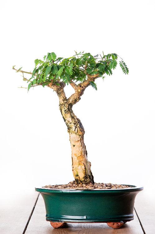 Acacia galpinii (Senegalia)