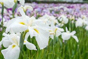iris ensata white.jpeg