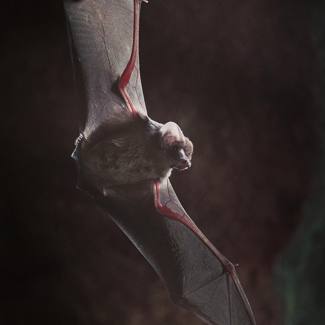 RAFFRAYS'S SHEATH-TAILED BAT (Emballonura raffrayana)