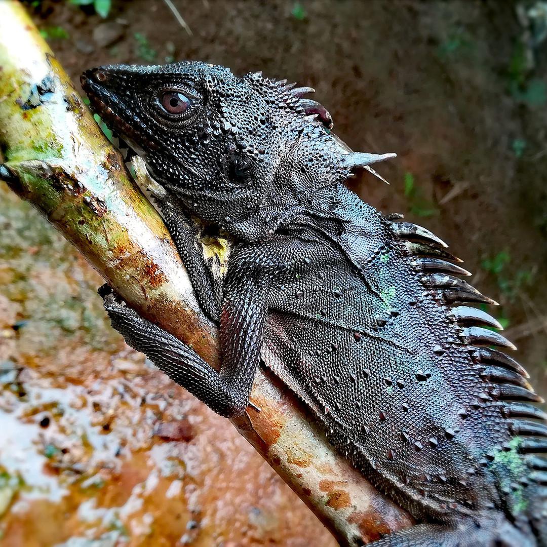 CROWNED FOREST DRAGON (Lophosaurus dilophus)
