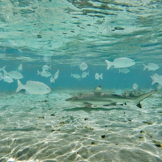 BLACKTIP REEF SHARK (Carcharhinus melanopterus) with rabbit fish (Siganus sp.)