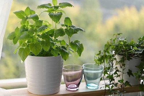 🌿 LIVE Plant Starter - Lemon Balm