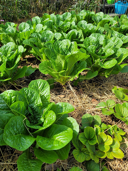 🌿 Pull/Cut to Order LETTUCE Ready to Use  -ROMAINE