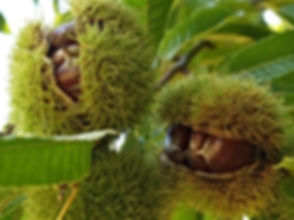 Chestnuts in burr