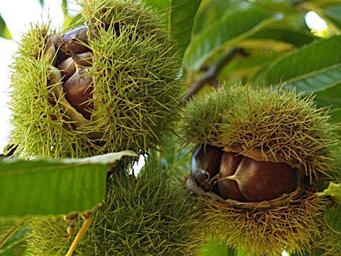 Chestnuts in burr