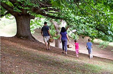 Old chestnut tree