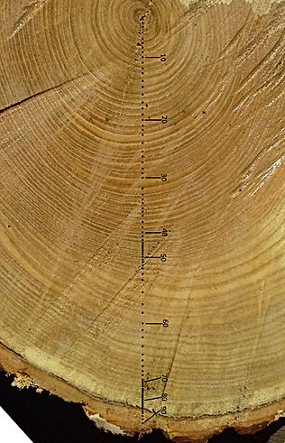 Growth rings on chestnut branch