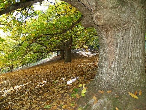 Old chestnut trees