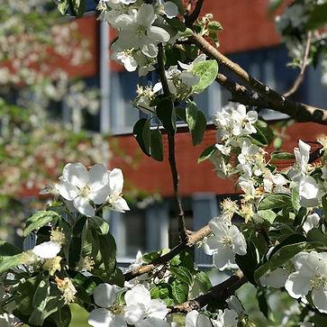 HiP - där knoppar slår ut i blom!.jpg