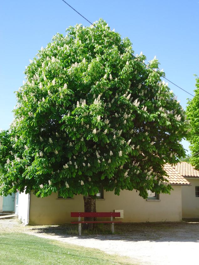 Photo of a walnut tree.