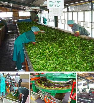Avonleahill Organic and Biodynamic Tea Factory