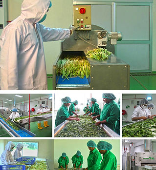 Frozen Herbs Processing Factory - Dambulla