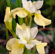 Siberian Iris - 'Butter and Sugar'