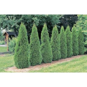 Arborvitae - Emerald Green.jpg