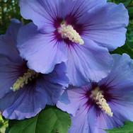 Hibiscus - 'Blue Satin'