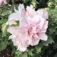 Hibiscus - 'Sugar Tip'