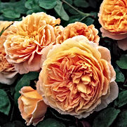 Rose - Crown_Princess_Margareta.jpg