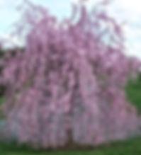 Prunus - 'Weeping Flowering Cherry'.jpg
