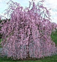 Prunus - 'Weeping Flowering Cherry'.jpg