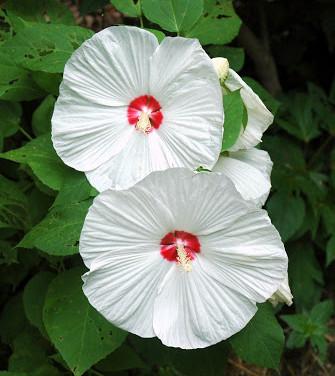 Hibiscus - 'Luna White'