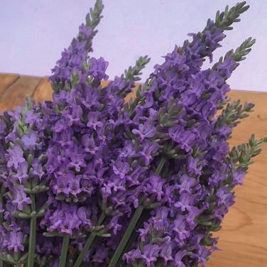 Lavender 'Sensational'