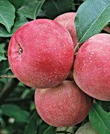 B & B - Fuji Apple.jpg