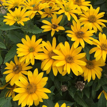 Heliopsis - 'Tuscan Gold'