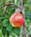 B & B -Gravenstein Apple.jpg