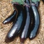 Eggplant - Orient Express