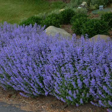 Nepeta - 'Purrsian Blue'