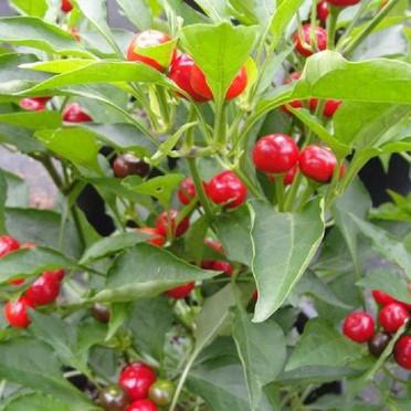 Pepper - Red Hot Cherry.jpg