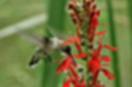 Cardinal Flower.jpg